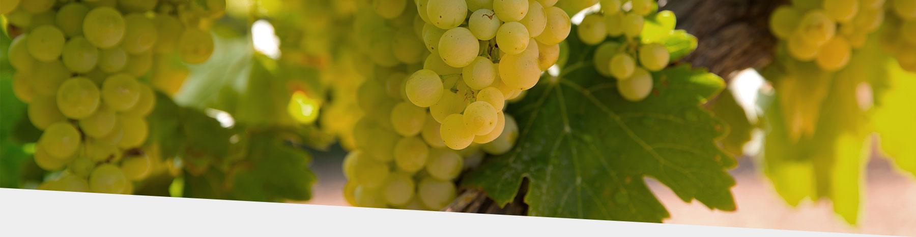 Debina semisparkle wine, domaine glinavos